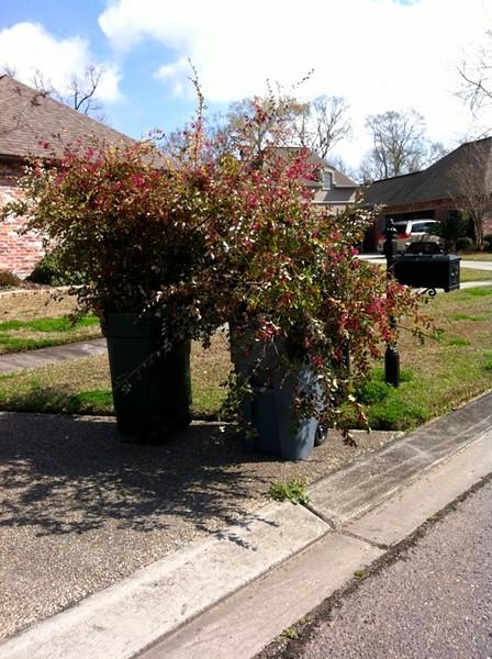 Huge shrubs be gone