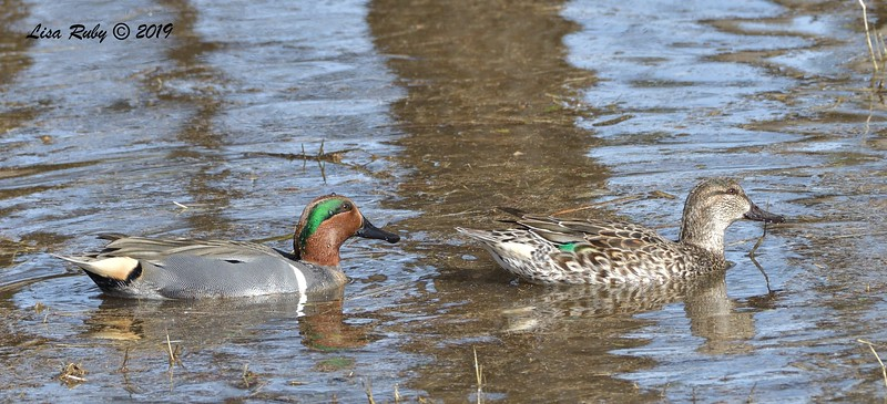 Green-winged Teal  - 12/01/2019 - Lindo Lake