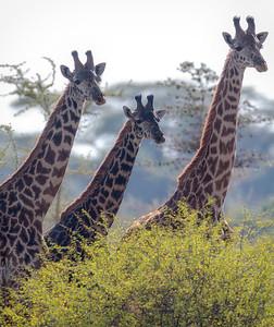 Masaisjiraff (Masai Giraffe)