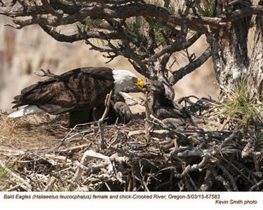 Bald Eagles A&N 67583.jpg