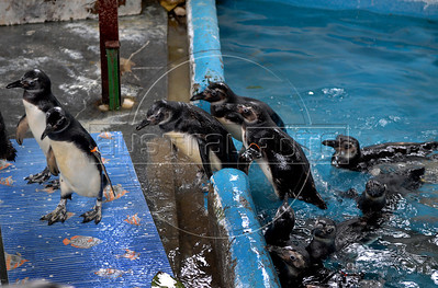 Magellanic Penguins shipped to South Atlantic