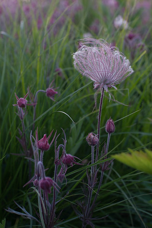prairie smoke early june 2014