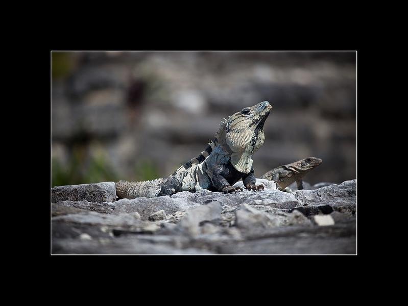 iguanas 1 small.jpg