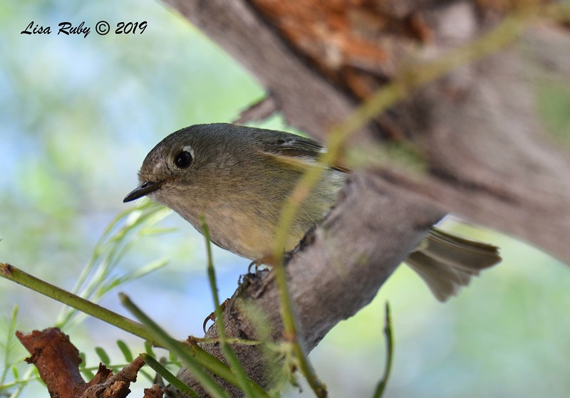 Ruby-crowned Kinglet  - 4/13/2019 - Agua Caliente County Park Campground