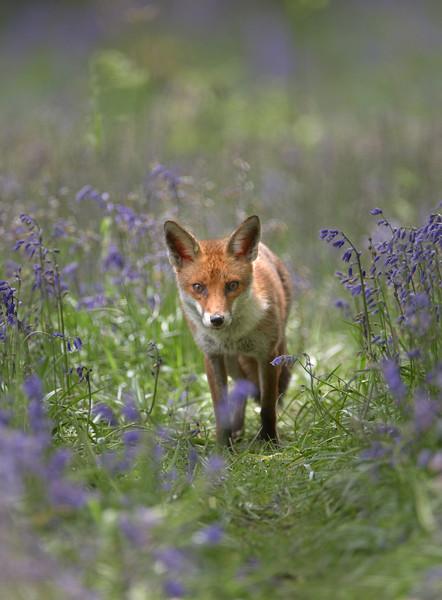 Fox - 0163.jpg