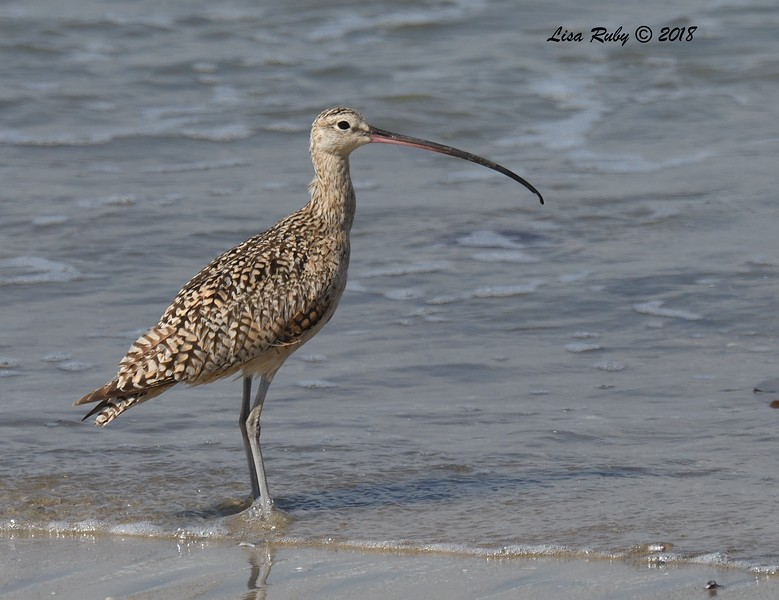 Long-billed Curlew  - 7/1/2018 - Imperial Beach, walking to Tijuana River Mouth