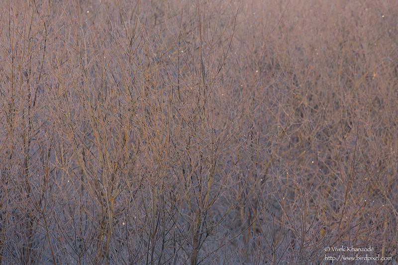 Hoar frost on Willows - Hokkaido, Japan