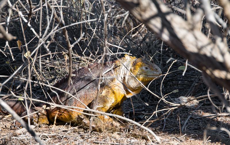 Land Iguana on Dragon Hill, Santa Cruz Island