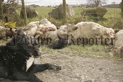 Scene of the sheepworring In Crossmaglen.