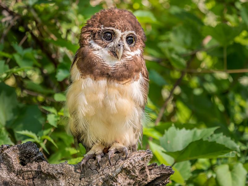 06 0116 Spectacled Owl 0006.jpg