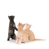 A gray cat and two yellow kittens play on a white background