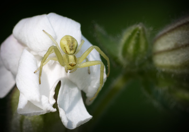Flower Crab Spider