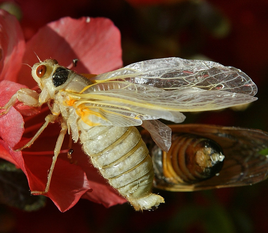 . After a 17-year nap one of the newly emerged Cicadas is seen drying it\'s wings after shedding it\'s skin in a suburban Washington yard, Saturday, May 15, 2004,. Trillions of red-eyed insects are crawling their way above ground in 14 states and the nation\'s capital. Loudmouthed and ugly, the cicadas will fly clumsily into pets, bushes and unwitting pedestrians as they engage in a frenetic mating ritual that lasts well into June. Then they\'ll disappear for another 17 years. (AP Photo/Ron Edmonds)