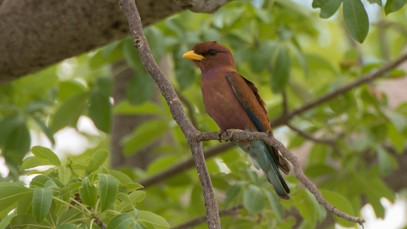 Broad-billed Roller, Eurystomus glaucurus. Ruaha National Park, Tanzania.