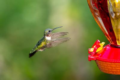 (full) 8/23 male humming bird
