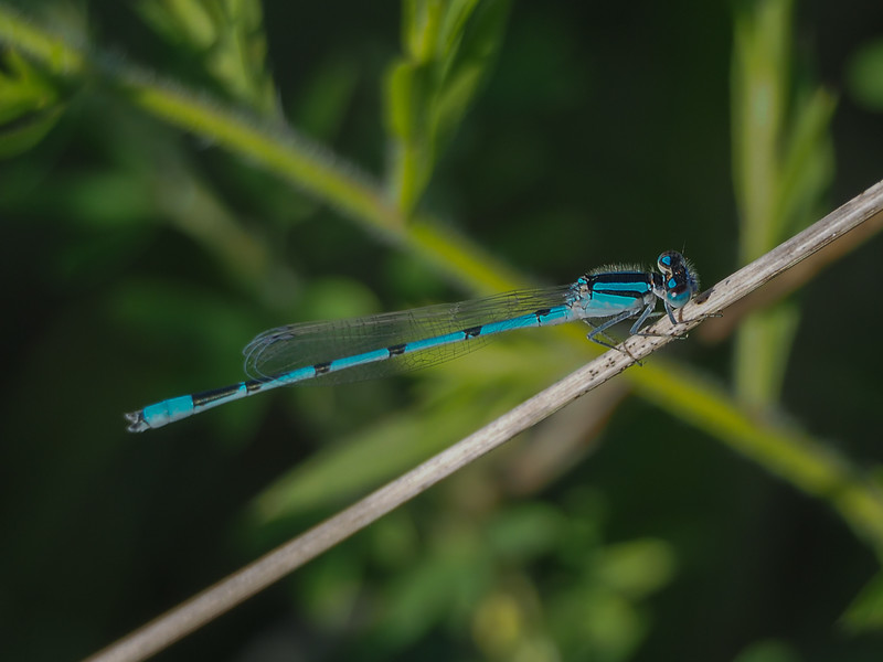 Familiar Bluet, male