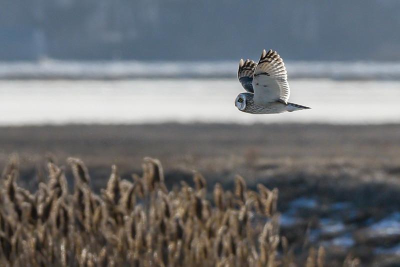 Short Eared Owl flying