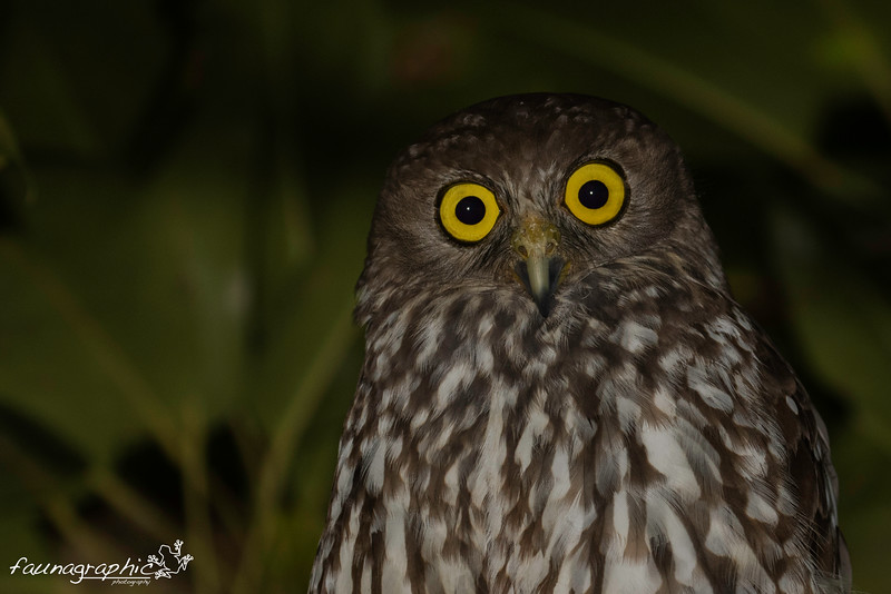 Barking Owl - Adult