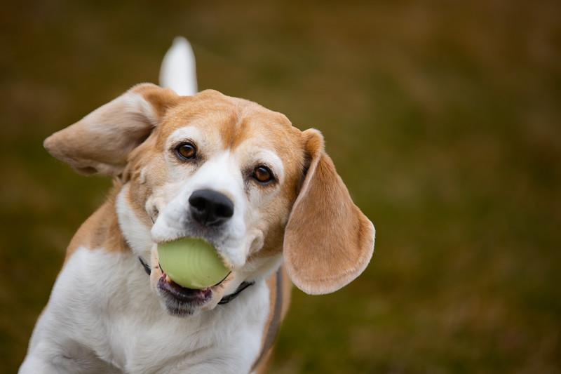 Beagle Brody-5041
