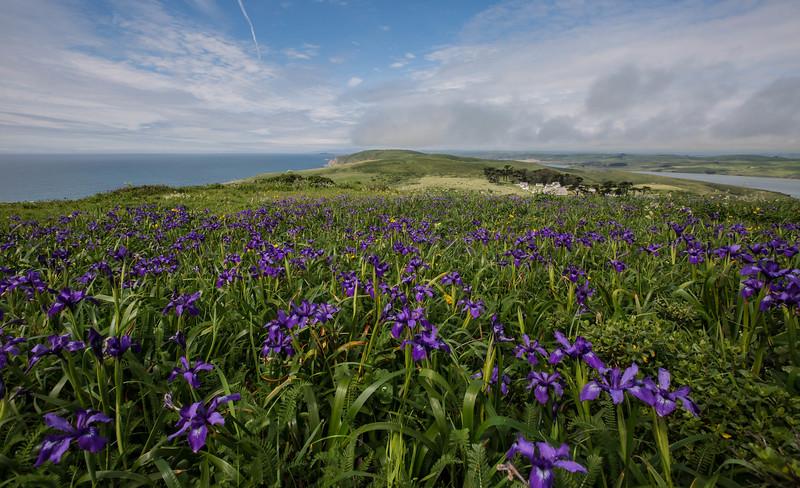 Wild Iris on the Pacific Coast