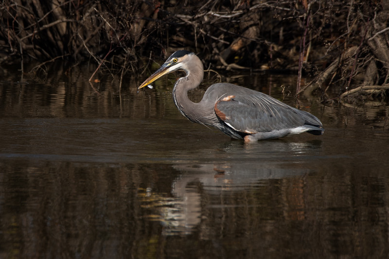 Great Blue Heron - The  Big Catch