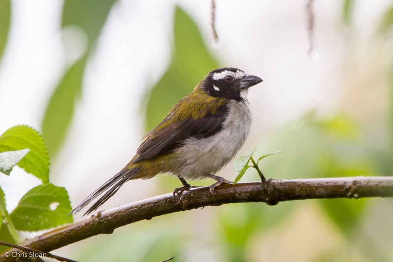 Black-winged Saltator at Sachatamia Lodge, Ecuador (03-03-2014)-12.jpg