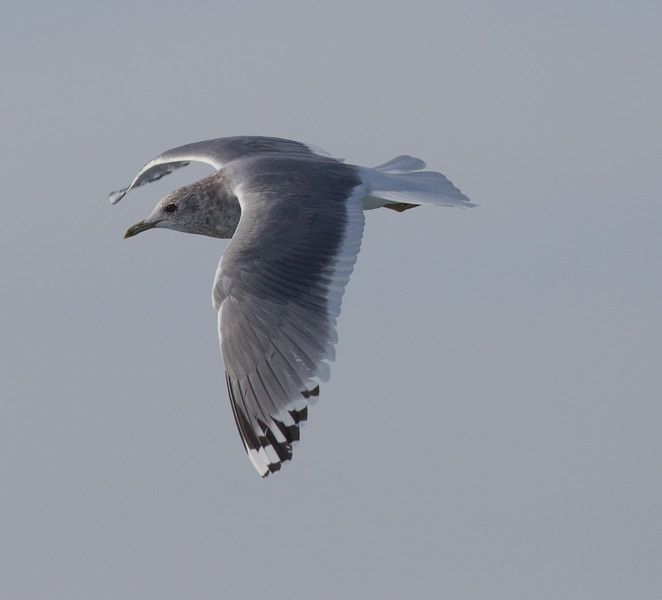 Mew Gull San  Diego Waters 2015 01 01-5.CR2-4.CR2