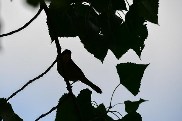 6-30-17 Yellow Warbler