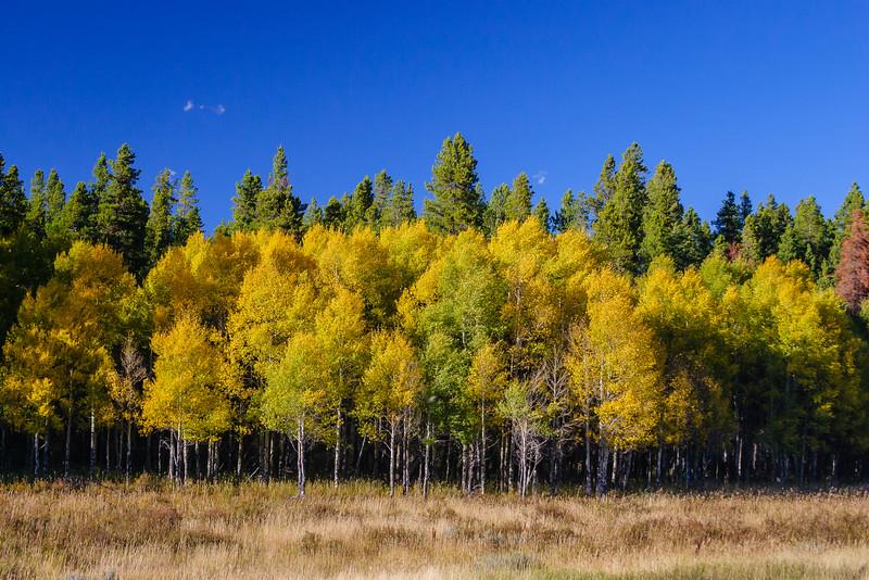 Aspen trees, Rocky Mountain National Park