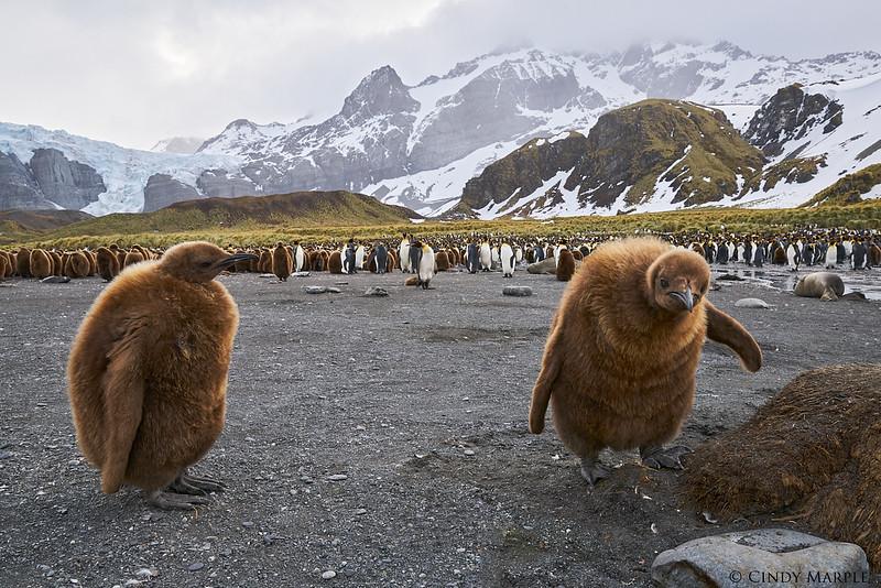 King Penguin chicks (Oakum Boys)