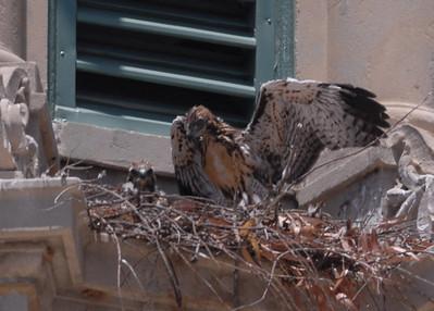 Hawks in Balboa Park