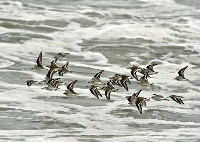 Sand Pipers 9:23:20.jpg