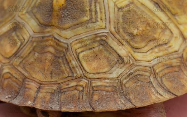 Albino Eastern Box Turtle (Terrapene carolina carolina)