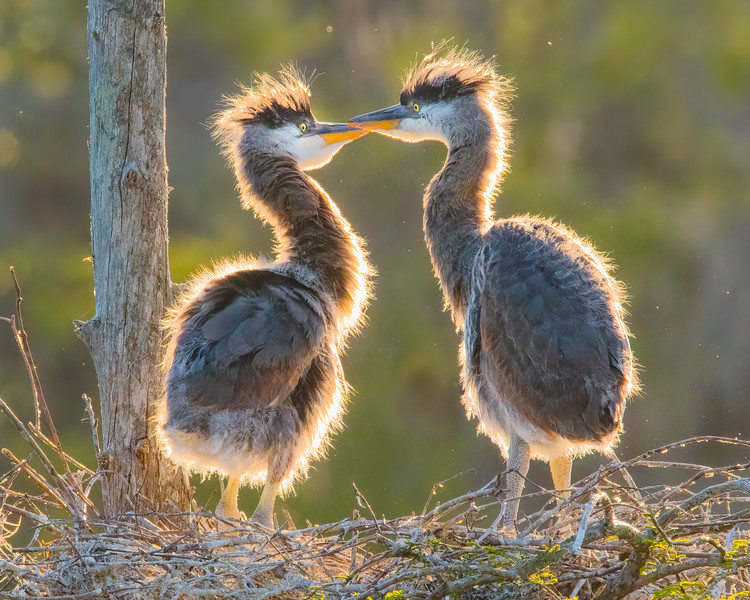 Blue Heron Chicks