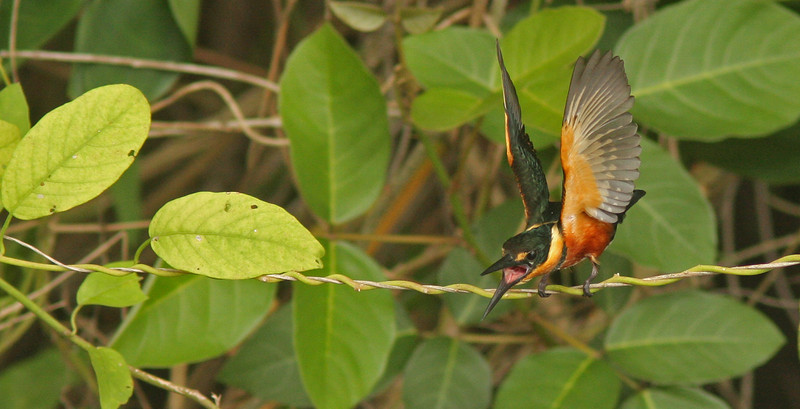 Pygmy Kingfisher screaming to protect territory in tree by river Chagres