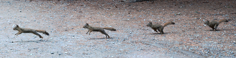 Squirrel - Red - action