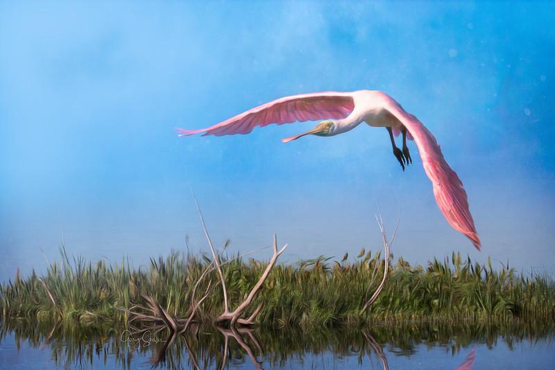 Florida Spoonbill WS.jpg