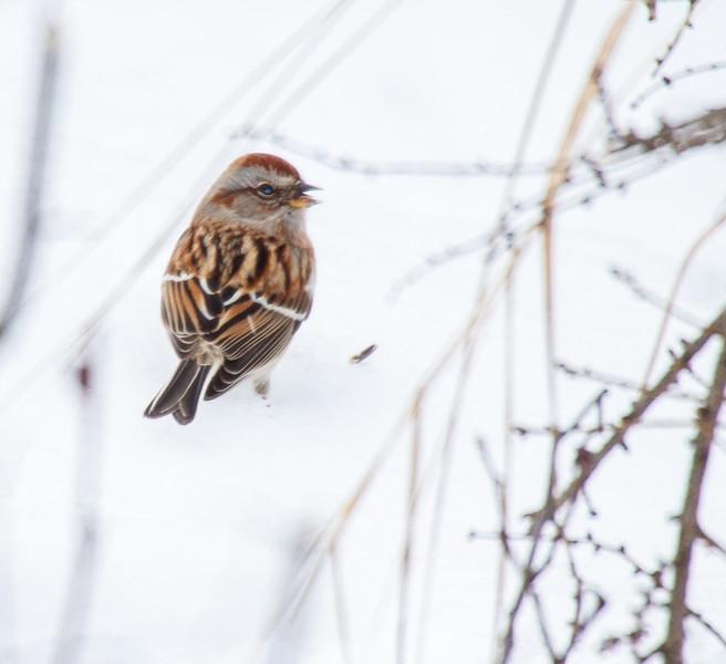 American Tree Sparrow Warren Woessner Bog Boardwalk Warren Nelson Memorial Bog Sax-Zim Bog MN IMG_0075.jpg