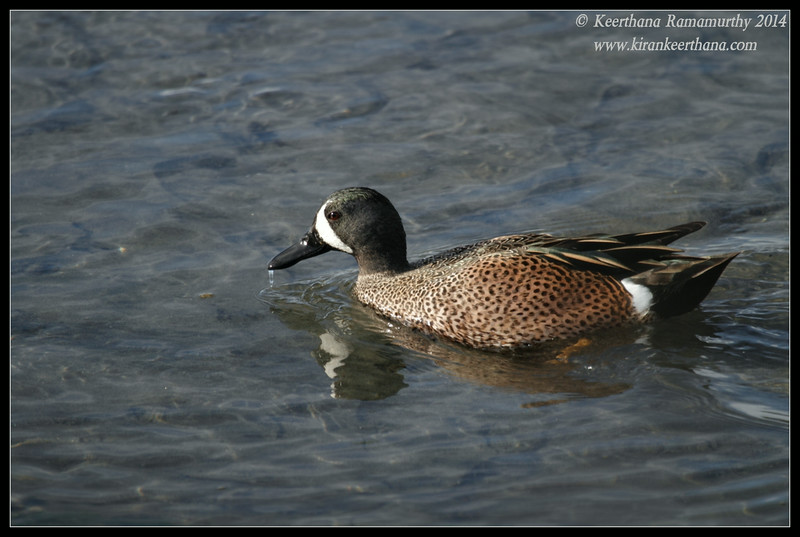 Blue-winged Teal Drake, Robb Field, San Diego River, San Diego County, California, February 2014