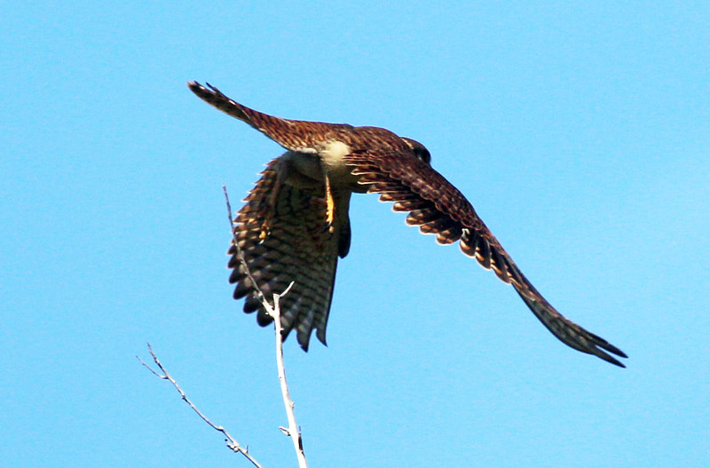 The Kestrel takes flight
