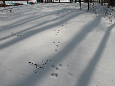 20070307 Eastern Cottontail Tracks