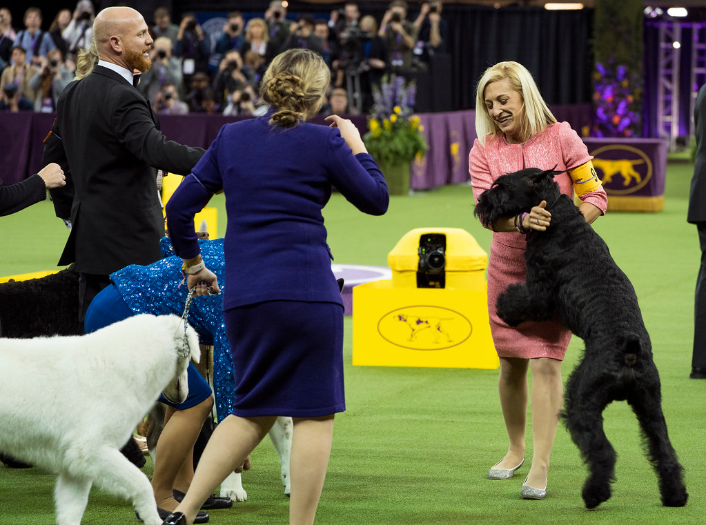 . Ty, a Giant Schnauzer, right, is hugged by handler Katie Bernardin after winning the working group during the 142nd Westminster Kennel Club Dog Show, Tuesday, Feb. 13, 2018, at Madison Square Garden in New York. (AP Photo/Craig Ruttle)