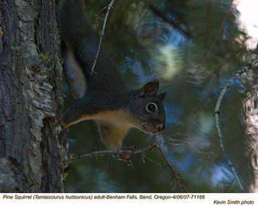 PineSquirrelA71166.jpg