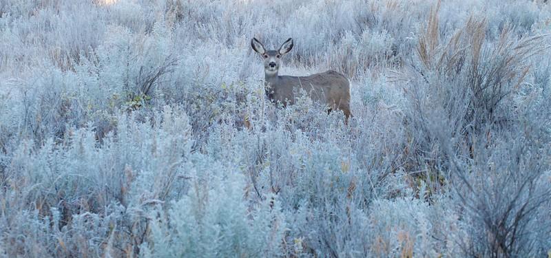 Mule Deer Roosevelt National Park ND IMG_7551.jpg