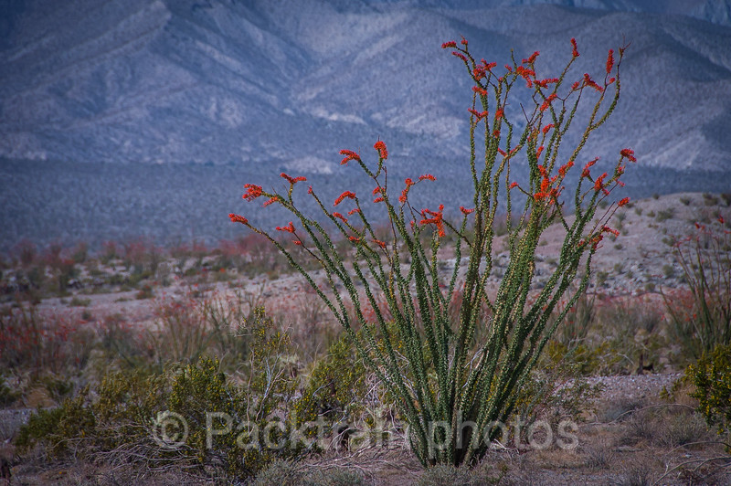 Verdant Blooming Ocotillo  -  VBO1