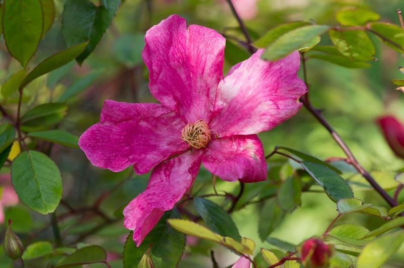 """Rosaceae Rosa """"Mutabilis"""""""