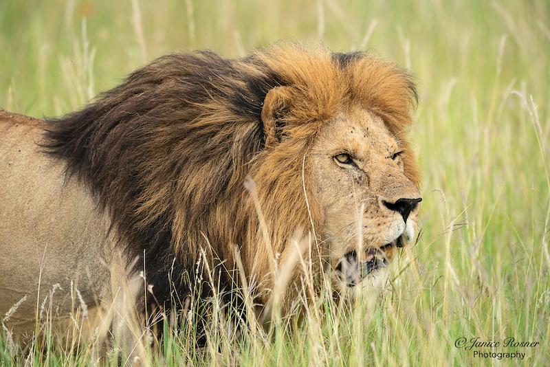 King Stalking