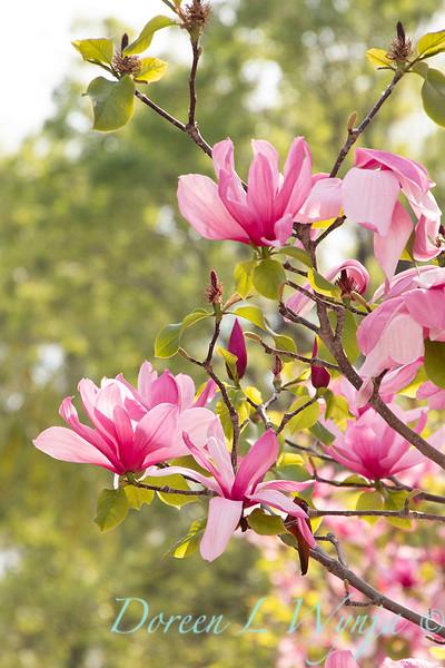 Magnolia x 'Galaxy'_2469.jpg