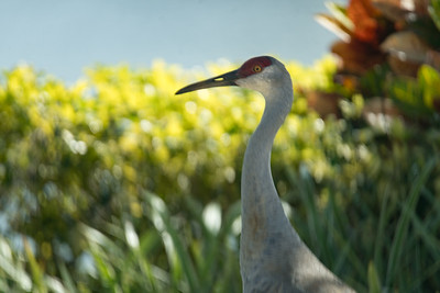 03_West Palm Beach - Sandhill Crane
