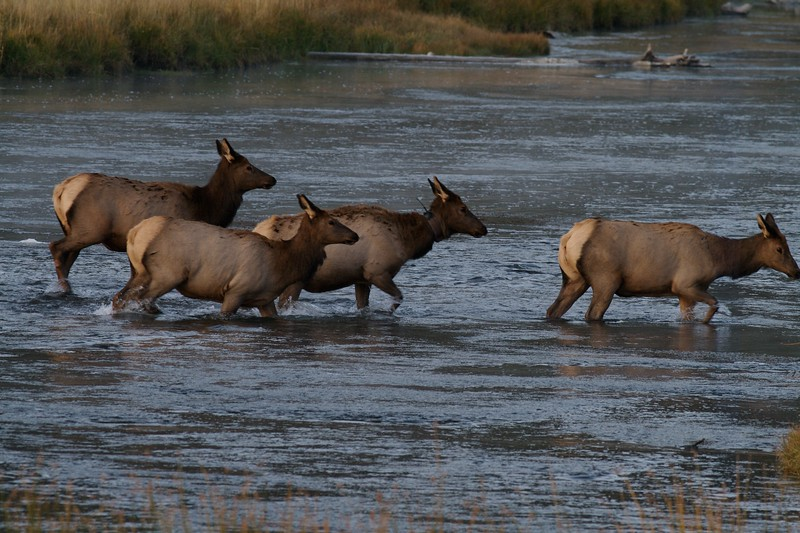 Elk crossing Madison River Yellowstone NP WY IMG_0001108.jpg